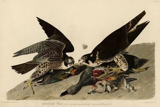« Birds of America » : exposition mondiale et inédite au Musée d'Histoire de Miami 1