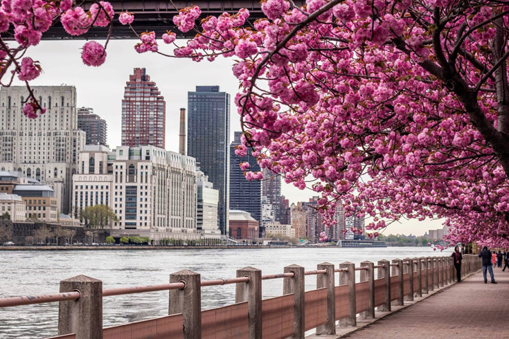 les plus beaux cerisiers japonais en fleurs à new york